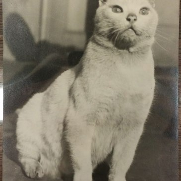 A white, kind of dirty, cat named Tim the Hospital Cat from Philadelphia General Hospital